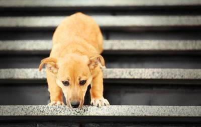 犬が階段を降りれないため困っている様子
