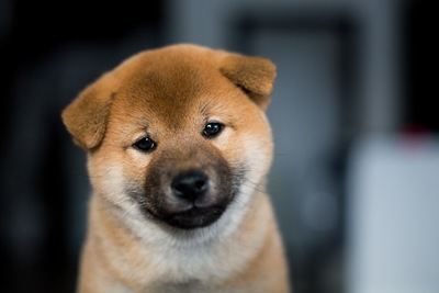 垂れ耳の柴犬の子犬