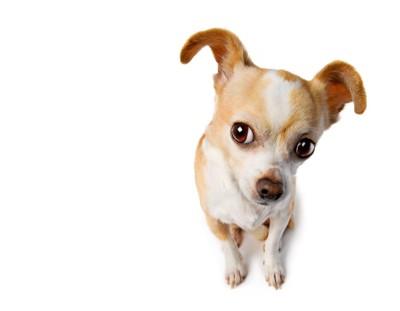 耳を傾ける犬