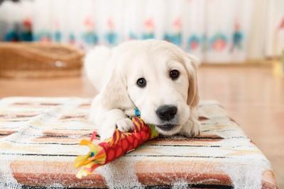 おもちゃで遊ぶラブラドールレトリバーの子犬