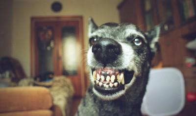 歯をむき出している黒い犬