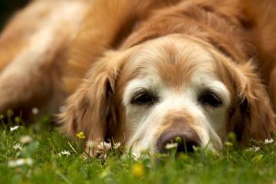 草むらに横になる老犬