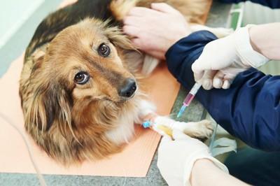 病院で血液検査のための採血を受けている犬