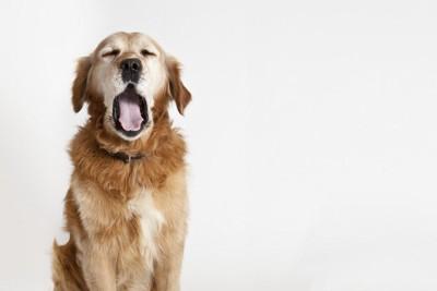 大きなあくびをする犬