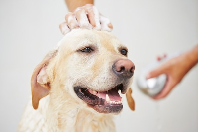 シャンプーをされる犬