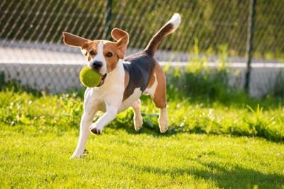 ボールを咥えて芝生を走り回る犬