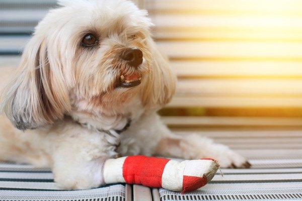 赤いサポーターを足に巻く犬