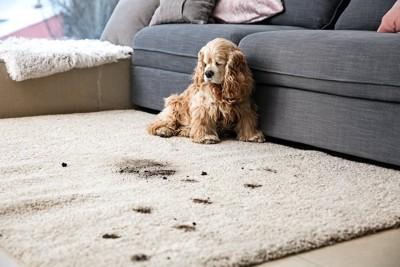 カーペットを汚してしまい落ち込んでいる犬