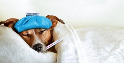 体温計をくわえて眠る犬