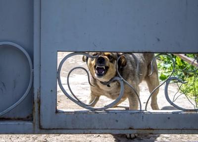 玄関で吠える犬