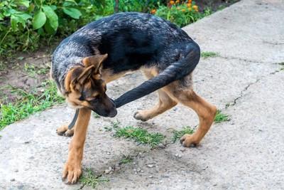 自分のしっぽを噛んでいる犬