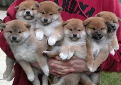 沢山の柴犬