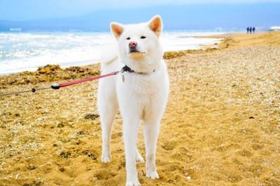 浜辺でお散歩中の秋田犬