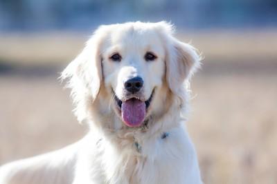 こちらを見つめる笑顔の犬