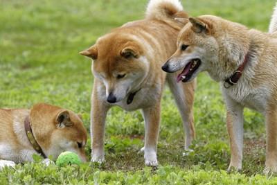 三頭の柴犬