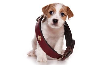 大きな首輪をかけた子犬