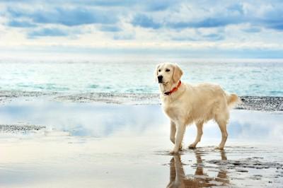 海岸を歩くゴールデンレトリーバー