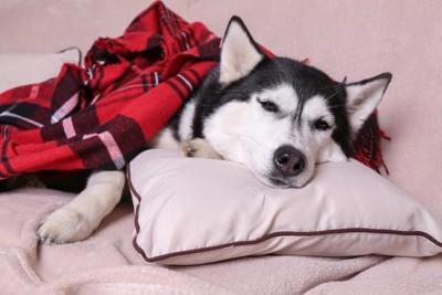 枕を使ってまどろむハスキー犬