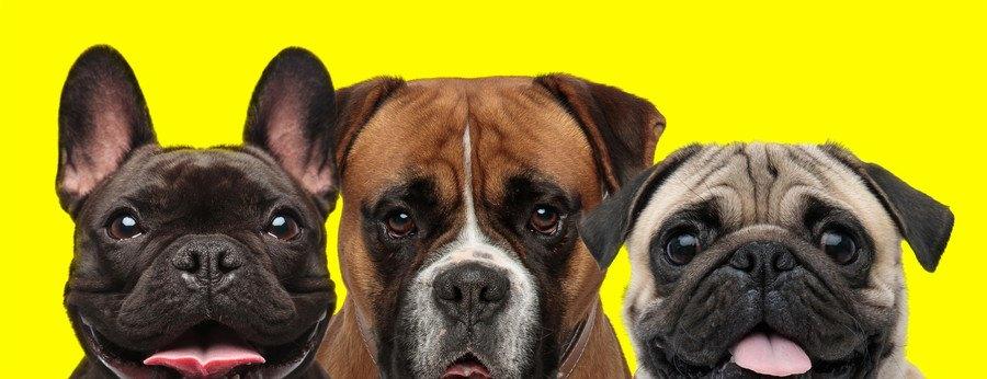 短頭種の犬3匹
