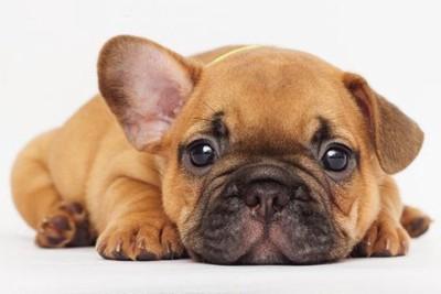 伏せてこちらを見るフレンチブルドッグの幼犬