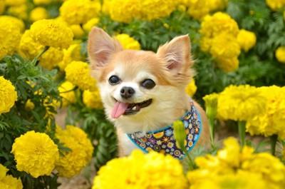 お花畑にいる犬