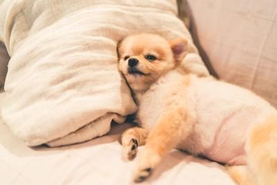 ベッドで横になるお腹が真ん丸な犬