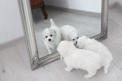 鏡にを覗きこむ2匹のビションフリーゼの幼犬
