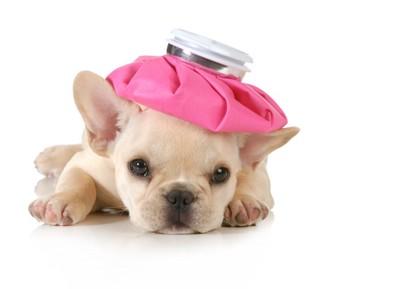 氷嚢を頭に乗せた子犬
