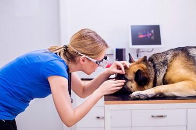 目を診察されている犬