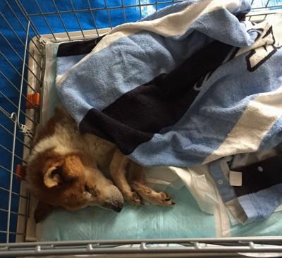 ケージの中で青い毛布を掛けて寝ている犬