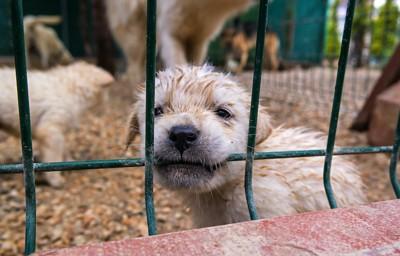 ケージの中から網を噛む子犬