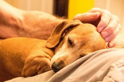 ひざの上で眠る老犬