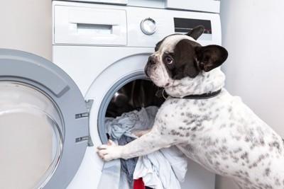 洗濯機とフレンチブルドッグ