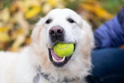ボールを咥えて飼い主に近づく犬