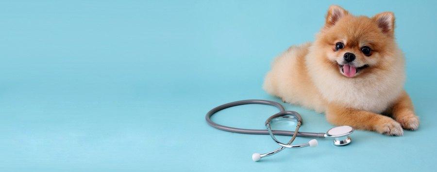 聴診器と伏せているポメラニアン
