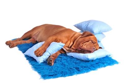 熟睡中のブルドッグ