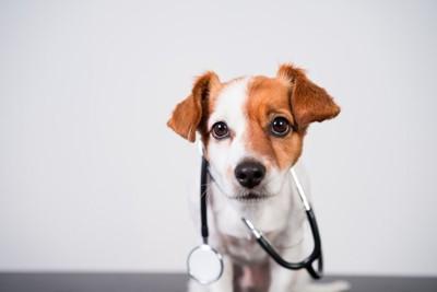 聴診器とジャックラッセルテリア