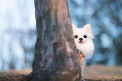 木の後ろに隠れて様子をうかがう白いチワワ