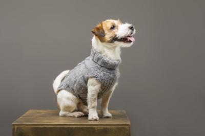 ニットの服を着ている犬