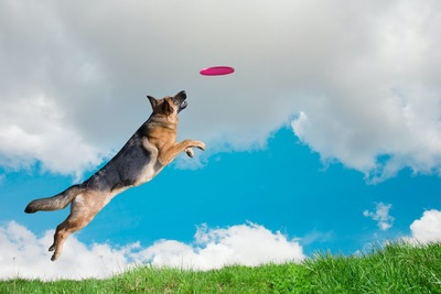 フリスビーを咥えようとしてジャンプする犬