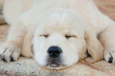 眠るゴールデンレトリバー