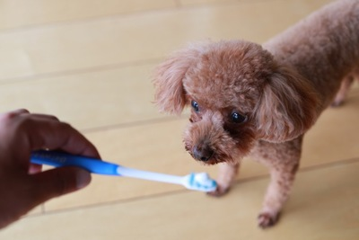 歯ブラシを見るトイプードル