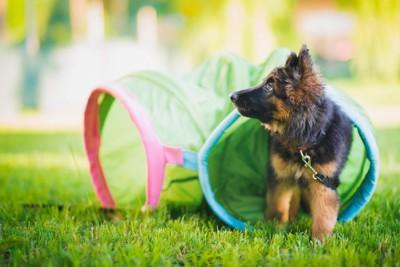 アジリティのトンネルとジャーマンシェパードの子犬