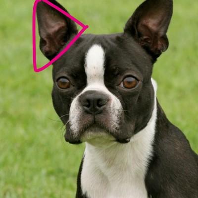 ボストンテリアアップ、三角にかたどった目印