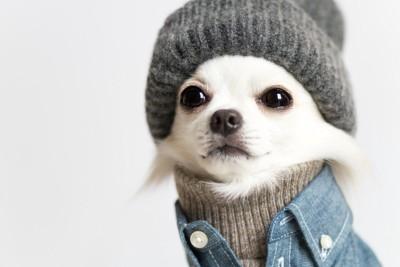 寒さ対策をしている可愛いチワワ