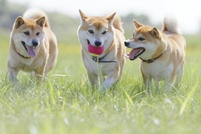 屋外でボールを咥えて遊ぶ三頭の柴犬