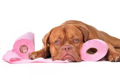 ピンク色のトイレットペーパーと犬