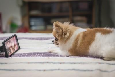 ベッドでポータブルテレビを見る犬