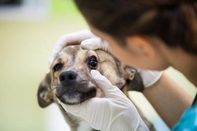 病院で目の診察を受けている犬