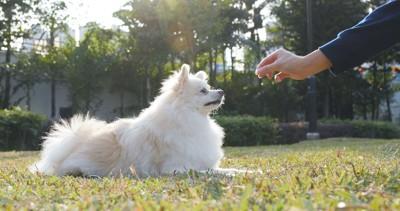 伏せをする白い犬とおやつを持つ人の手